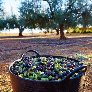 Olive trees Marbella Club Hills